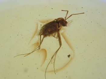 Dominican Amber Inclusion #31 (Winged Insect)