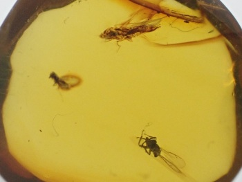 Dominican Amber Inclusion #33 (Winged Insects)