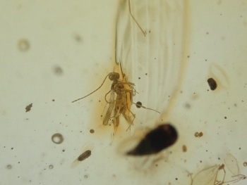 Dominican Amber Inclusion #36 (Fly)