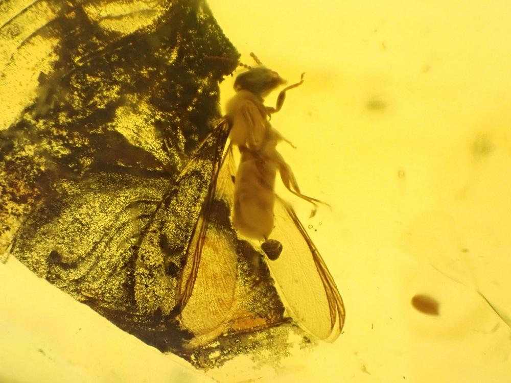 Dominican Amber Inclusion #41 (Winged Termite)