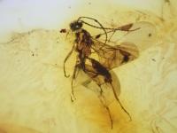 Baltic Amber Inclusion #05 (Fungus Gnat)