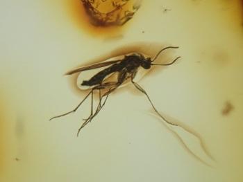 Baltic Amber Inclusion #09 (Fungus Gnat)