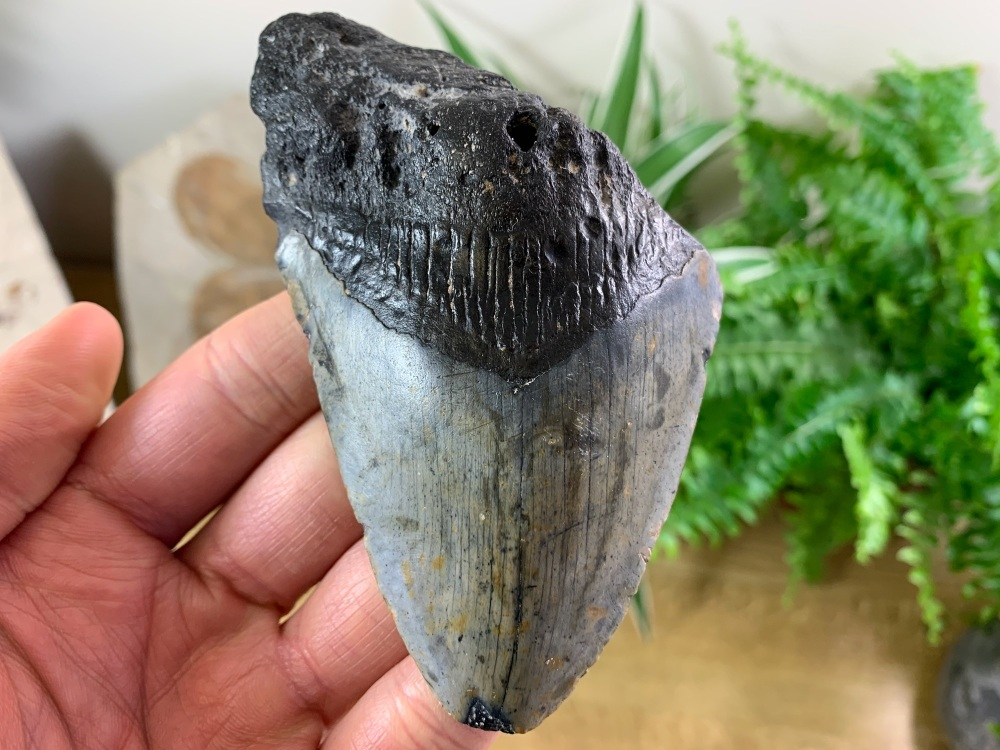 Megalodon Tooth - 4.13 inch #06