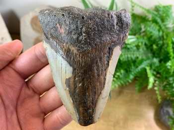 Megalodon Tooth - 4 inch #08