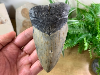 Megalodon Tooth - 4.56 inch #10