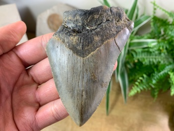Megalodon Tooth - 4 inch #11