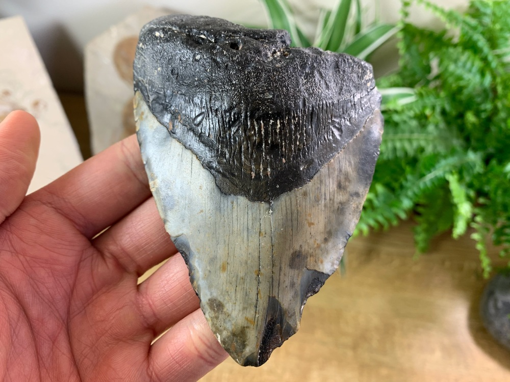 Megalodon Tooth - 4.44 inch #12