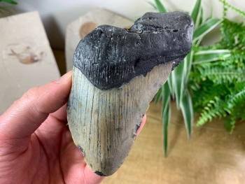 Megalodon Tooth - 5.06 inch #13