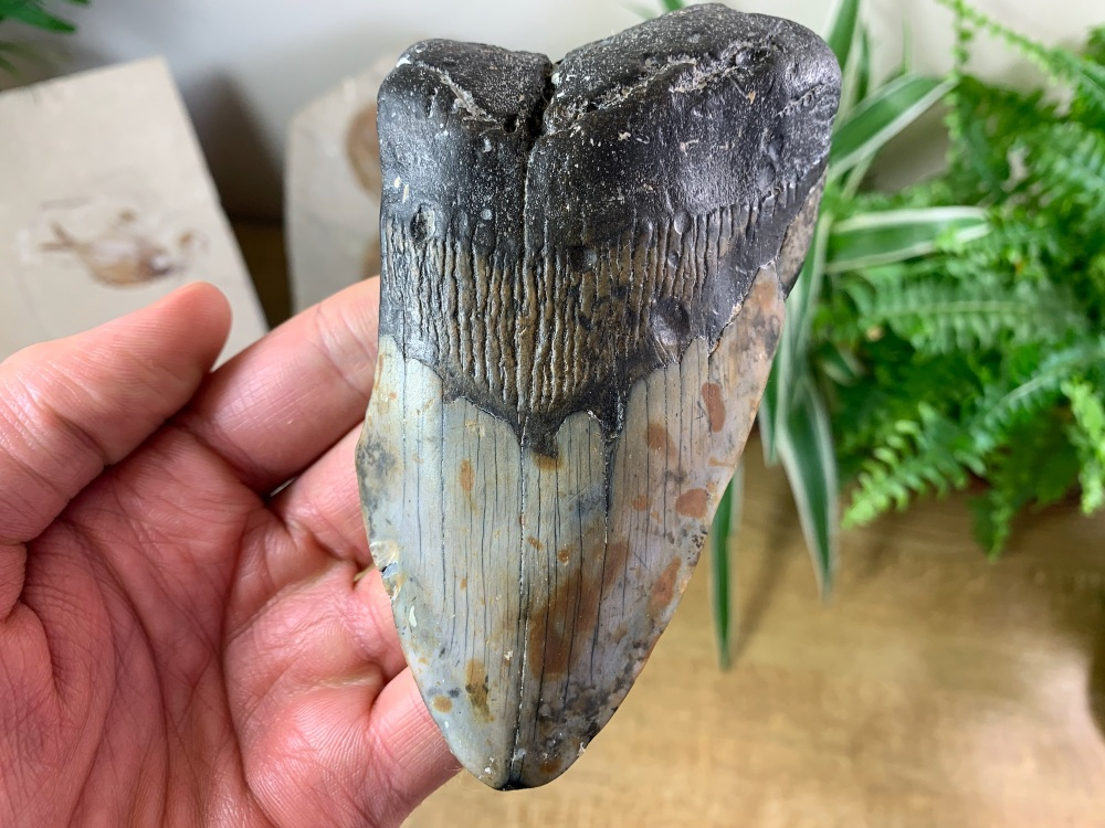 Megalodon Tooth - 4.75 inch #14