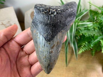 Megalodon Tooth - 4.94 inch #17