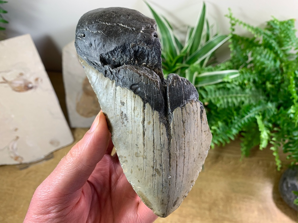 Megalodon Tooth - 6 inch #18