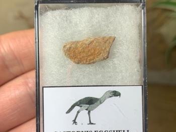 Gastornis (Giant Bird) Eggshell #10