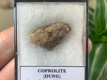 COPROLITE (DUNG), BULL CANYON FM. #05
