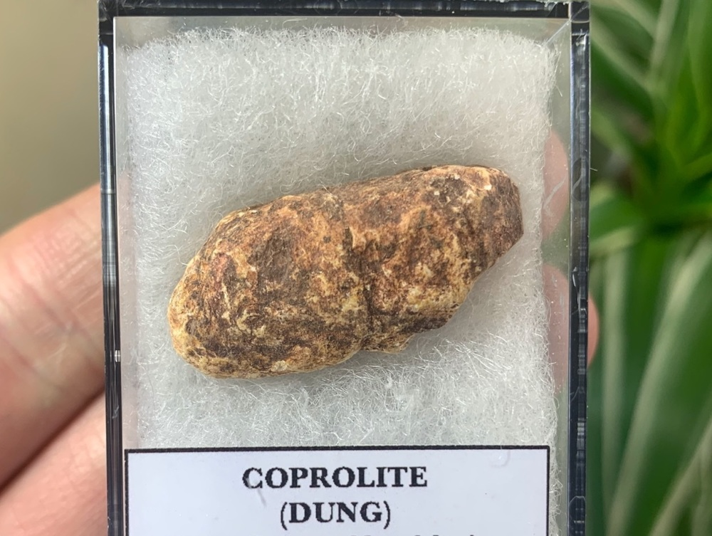 COPROLITE (DUNG), BULL CANYON FM. #06