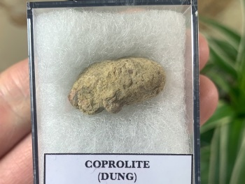 COPROLITE (DUNG), BULL CANYON FM. #07