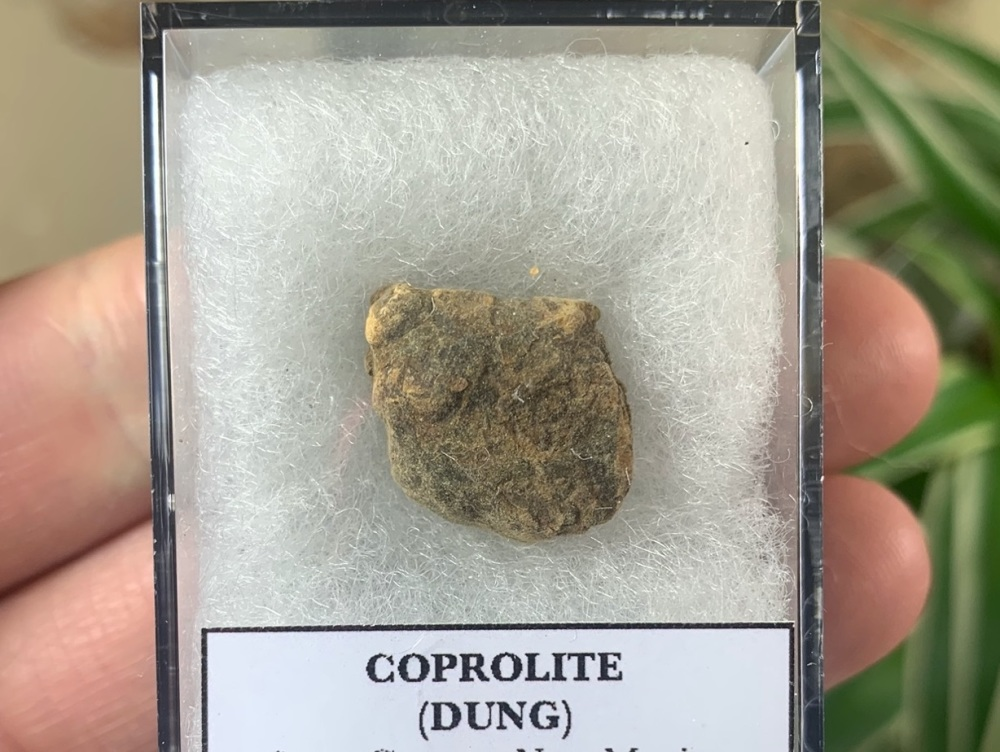 COPROLITE (DUNG), BULL CANYON FM. #08