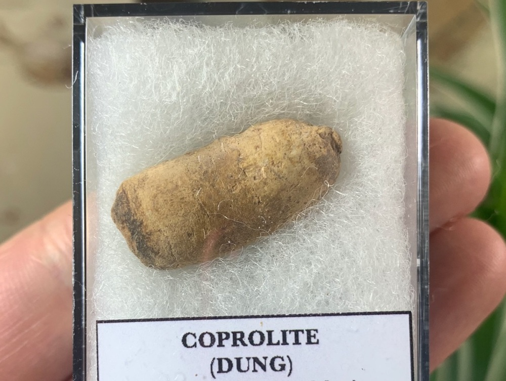 COPROLITE (DUNG), BULL CANYON FM. #10