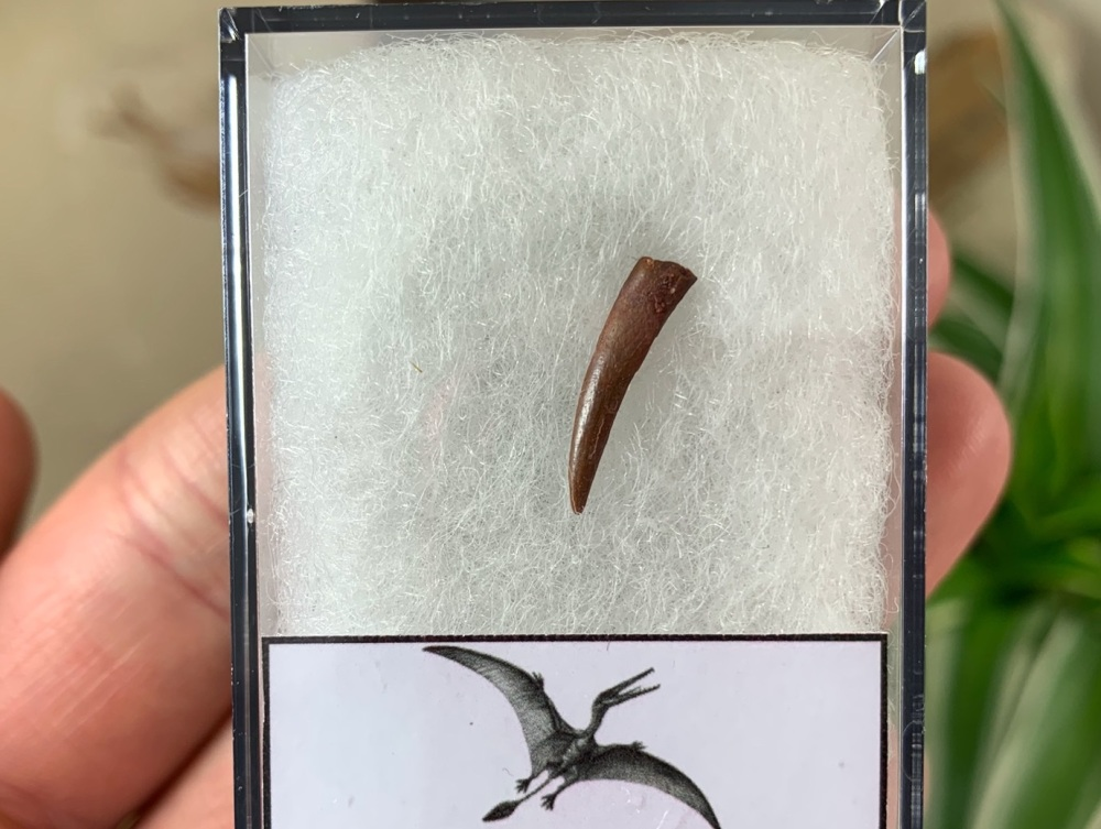 Pterosaur Tooth, Morocco #03