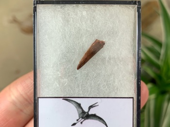Pterosaur Tooth, Morocco #05
