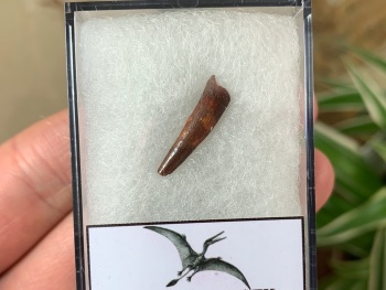 Pterosaur Tooth, Morocco #08