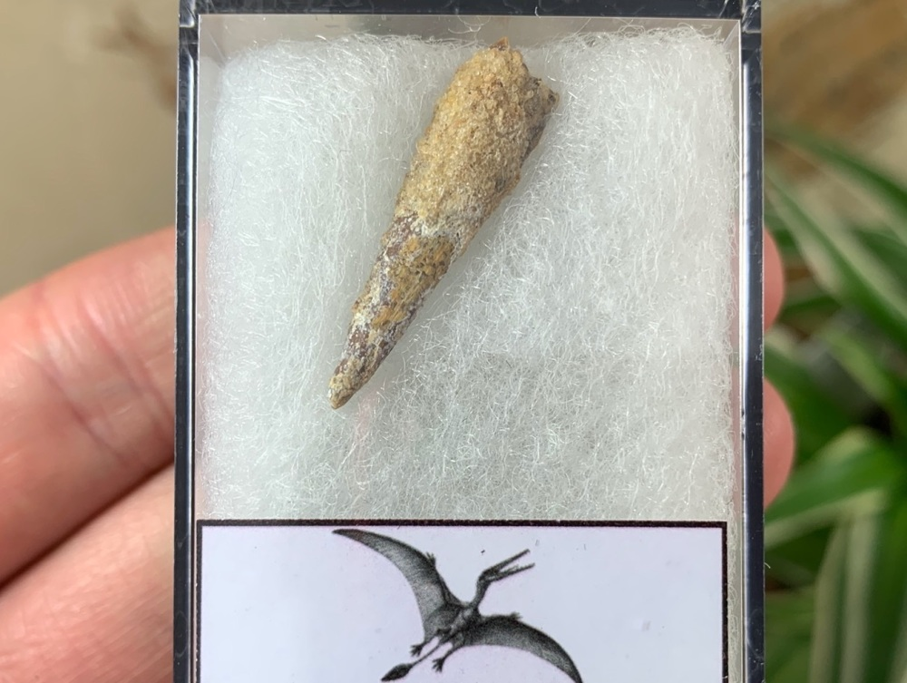 Pterosaur Tooth, Morocco #13