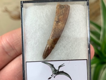 Pterosaur Tooth, Morocco #14