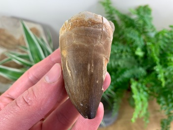 Large Mosasaur Tooth (2.63 inch) #02