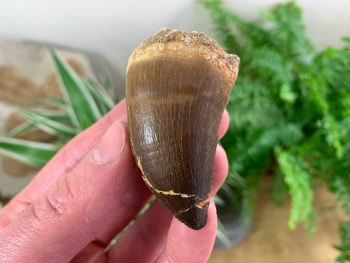 Large Mosasaur Tooth (2.13 inch) #03