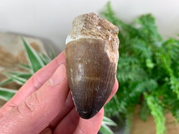Large Mosasaur Tooth (2 inch) #06