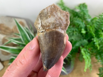 Large Mosasaur Tooth (2.63 inch) #07