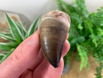 Large Mosasaur Tooth (2.06 inch) #08