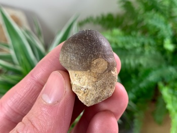 Globidens Mosasaur Tooth #02