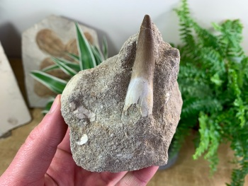 Plesiosaur Tooth on Matrix (2.25 inch) #02