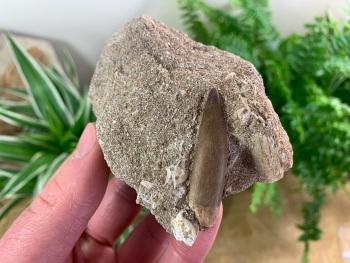 Plesiosaur Tooth on Matrix (1.75 inch) #03