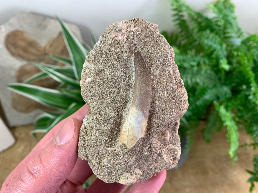 Plesiosaur Tooth on Matrix (1.88 inch) #07