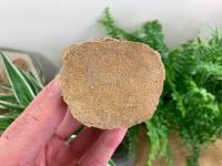 Plesiosaur Vertebra (2.5 inch) #10