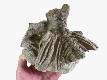 Jeholosaurus Partial Skeleton