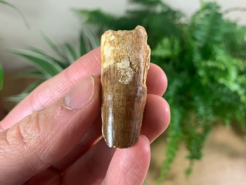 Spinosaurus Tooth - 1.69 inch #SP14