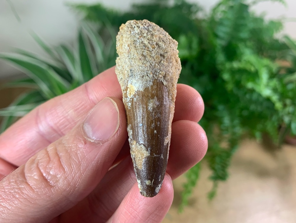 Spinosaurus Tooth - 2.06 inch #SP15