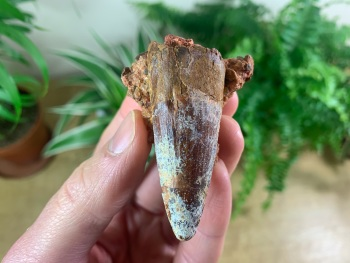 Spinosaurus Tooth - 2 inch #SP24