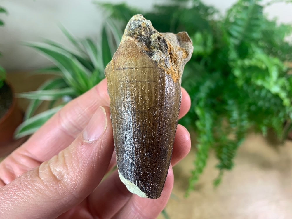 Spinosaurus Tooth - 2.13 inch #SP30