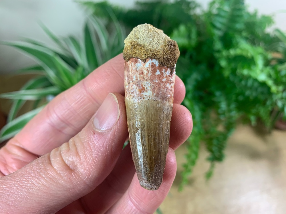 Spinosaurus Tooth - 1.88 inch #SP32