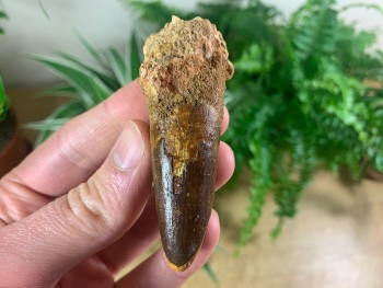 Spinosaurus Tooth - 1.81 inch #SP37