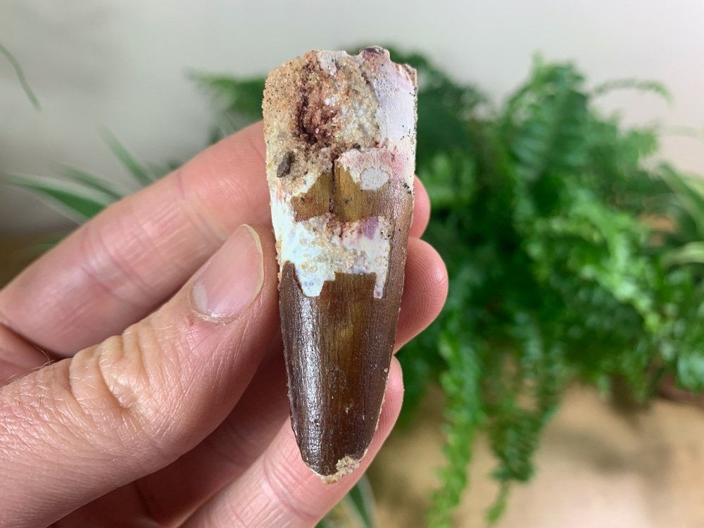 Spinosaurus Tooth - 2.38 inch #SP42