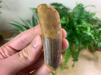 Spinosaurus Tooth - 2.88 inch #SP43