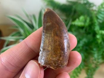 Carcharodontosaurus Tooth - 1.63 inch #CT27