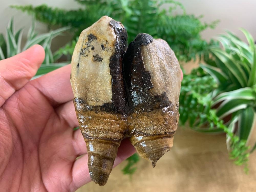 Woolly Rhino Tooth, Russia #07