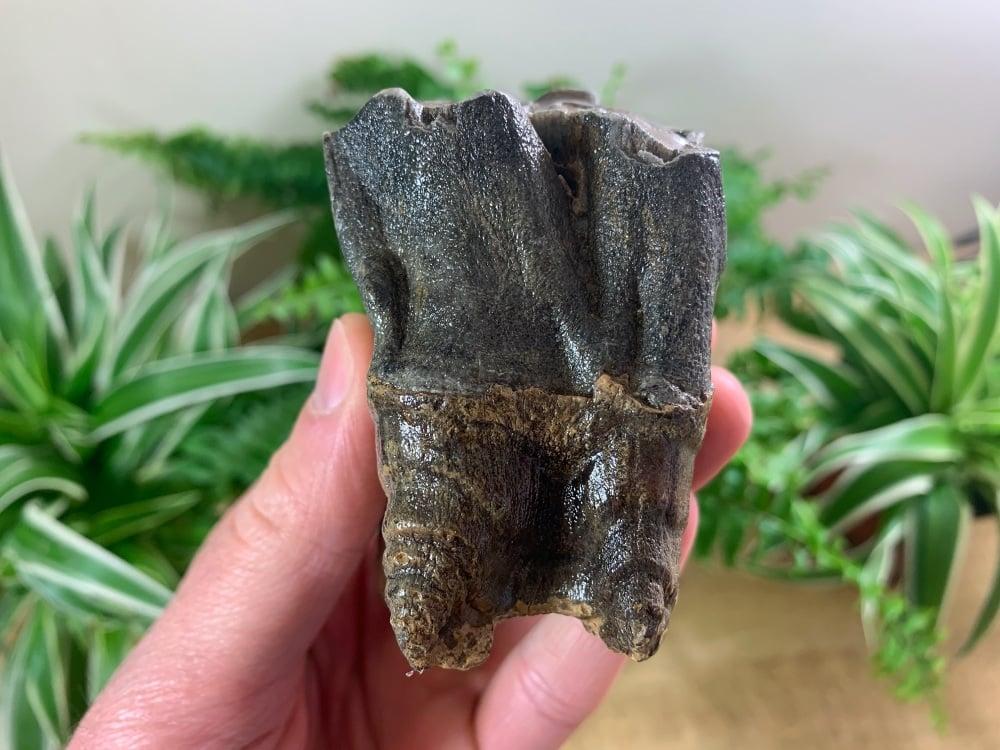 Woolly Rhino Tooth, Russia #08