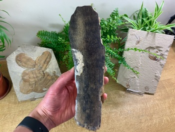 Woolly Mammoth Tusk (9.5 inches) #03