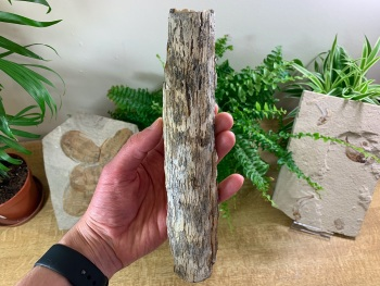Woolly Mammoth Tusk (9 inches) #04